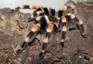tarantula-400978_960_720